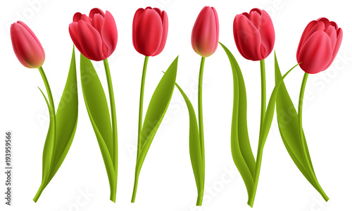 Realistic red tulip flower collection with leaves. Vector illustration, isolated on white for spring and nature design. #193959566