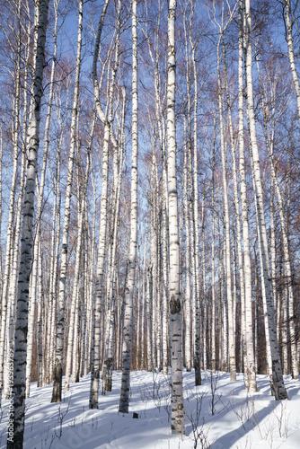 Tuinposter Berkbosje Birch Grove. Forest.