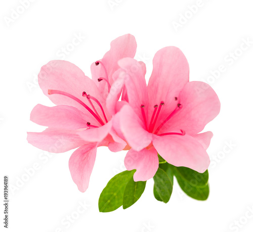 Garden Poster Azalea azalea flowers isolated