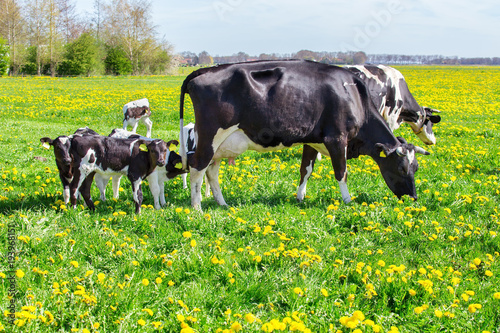 Fotografie, Obraz  Mother cows with newborn calves in  spring meadow