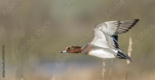 Widgeon in flight