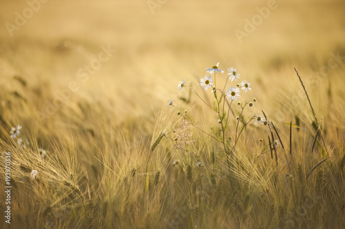 Wall Murals Daisies Common daisy (Bellis perennis) flowers in Barley fields during sunset