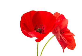 a poppy flowers