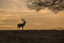 A White Tail Deer Silhouetted ...