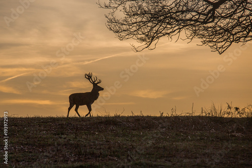 A white tail deer silhouetted against a sunset