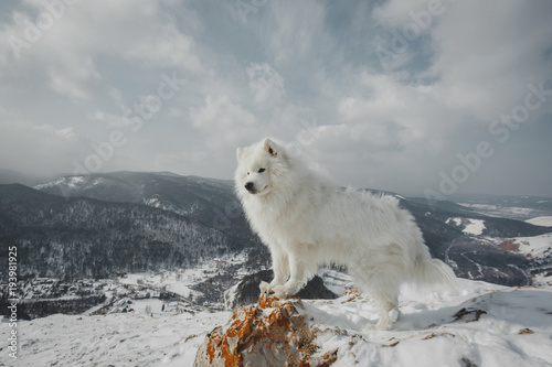 Poster Taupe Beautiful white Samoyed dog in outdoor