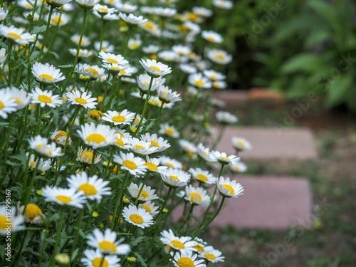 Fotografie, Obraz  ノースポールの花