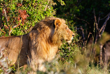 African Male Lion Standing And...