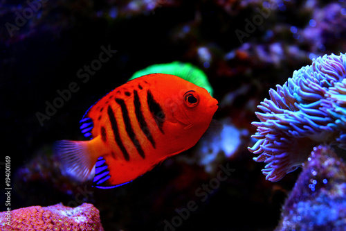 Flame Angelfish (Centropyge loricula) Canvas Print