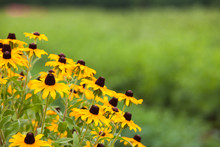 Yellow Black Eyed Susan Daisy Flower