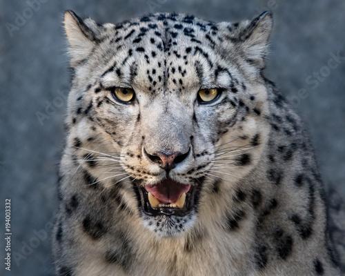 Poster Leopard Snow Leopard XXVII