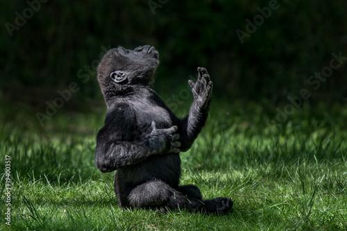 Obraz na płótnie Western Lowland Gorilla Baby II