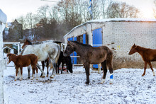 Horses Graze On A Snow-covered...