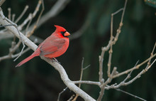 Red Cardinals Sitting On A Bra...