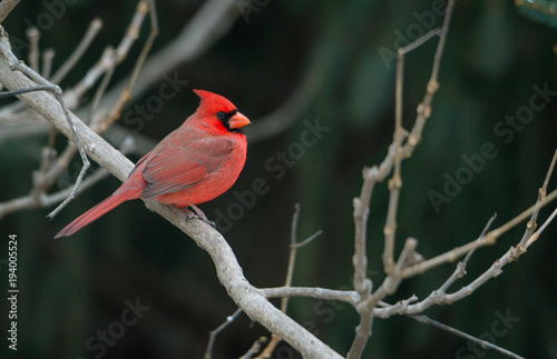 Photo  Red cardinals sitting on a branch, winter season