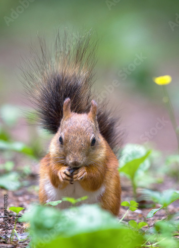Printed kitchen splashbacks Red squirrel picks up seeds on path in Park