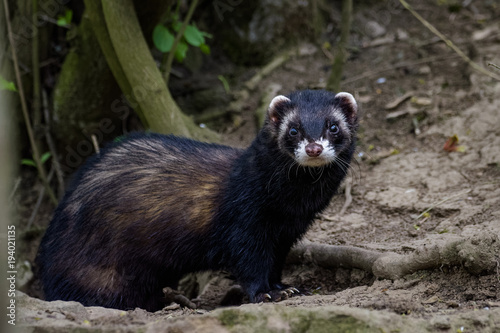 Vászonkép  Dark ferret standing in front of its den