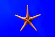 canvas print picture - Close-up red starfish under blue background water.