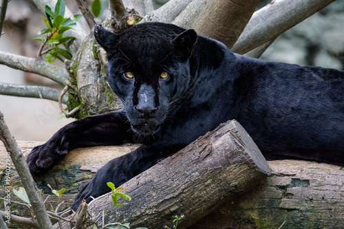 Black jaguar laying on a log