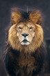 canvas print picture - Portrait of Lion.