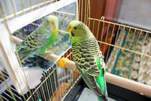 A Parrot. A Wavy Parrot In Green Color.