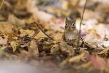 Funny Eastern Chipmunk In Autumn