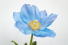 Blue Poppy On White