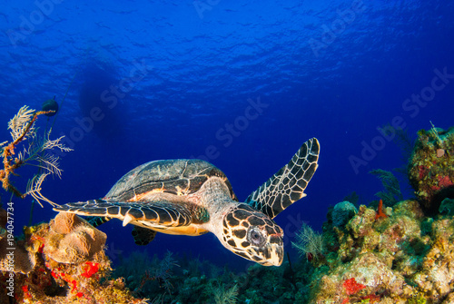 on the surface of the deep blue sea is the silhouette of a scuba dive boat. Right at the bottom of the mooring line is a hawksbill turtle, a common sight on this tropical reef in the Cayman Islands