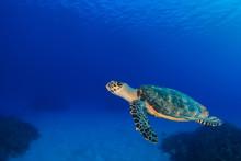 A Hawksbill Turtle Swimming In...