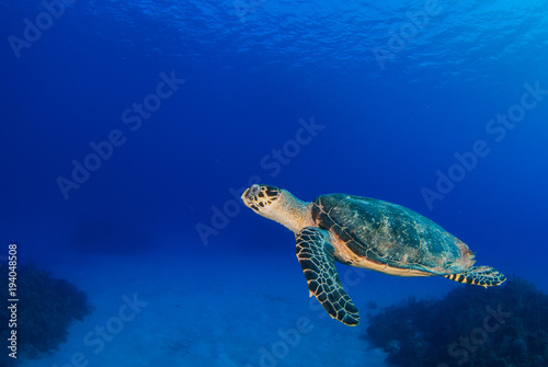 Poster Schildpad A hawksbill turtle swimming in its natural habitat which is the tropical reef system in the Caribbean. The turtle exists within the ecosystem and lives off the reef