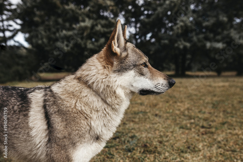 Side view of wolf