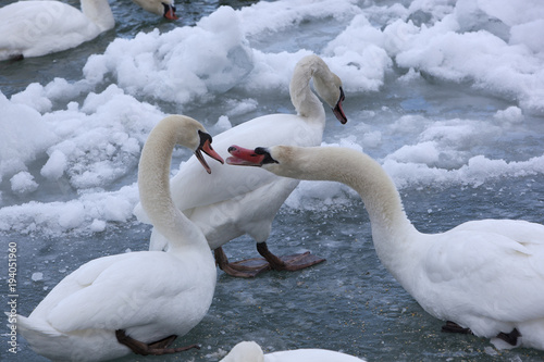 Valokuva  Mute Swans in a Cold, Snowy Blue River