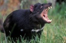 Animals Tasmanian Devil