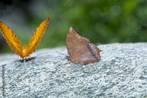 Photo  The Tawny Rajah, brunette butterfly