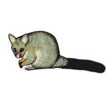 Brushtail Possum Australia Opo...
