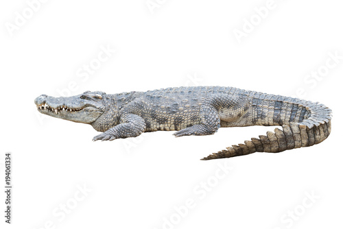 Photo sur Toile Crocodile crocodile isolated