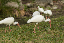 American White Ibis In Florida