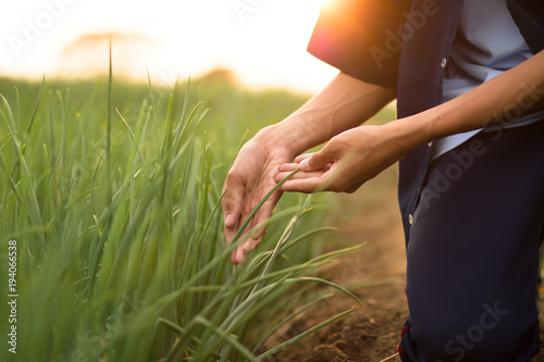 Farmer check his crop plant health by examination plant leaf, looking for insect pests at farm in the morning