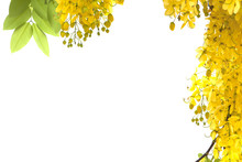 Yellow Golden Shower Flower,cassia  Fistula Flower Isolate On White Background.