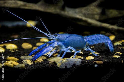 Valokuva  Crayfish Cherax destructor