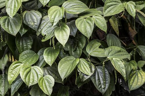 Fotografía Unripe drupes of Black Pepper, Green Pepper plantation in coorg, Karnataka, Indi