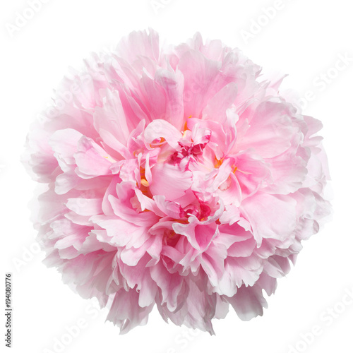 Gently pink peony isolated on white background.