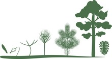 Green Silhouettes Of Growth Stages Of Pine From Seed To Mature Tree