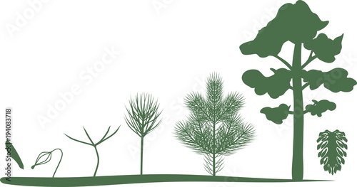 Obraz Green silhouettes of growth stages of pine from seed to mature tree - fototapety do salonu