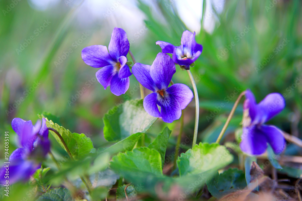 Fototapety, obrazy: Wild forest violet in the spring forest. Blooming close-up. Nature background.