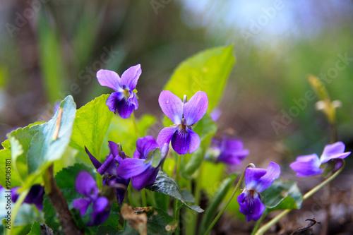 Fotografija Wild forest violet in the spring forest