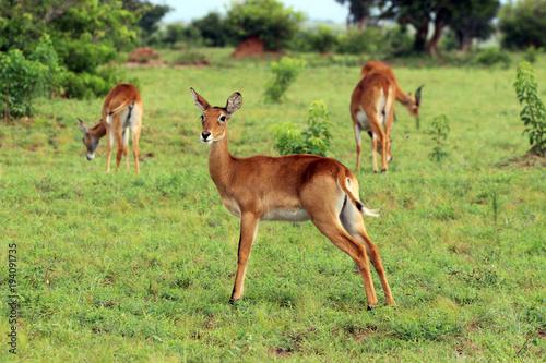 Antelope Wilde Antilopen in der Natur von Afrika Uganda