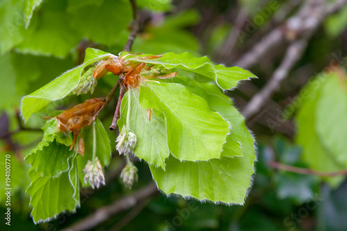 Obraz na plátně leaves and inflorescence of beech
