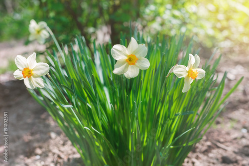 White narcissus flowers growing in the garden