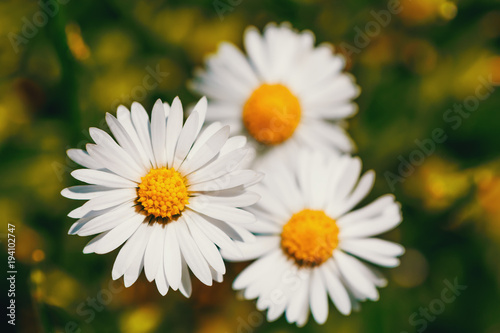 Foto op Canvas Madeliefjes small spring daisy flower